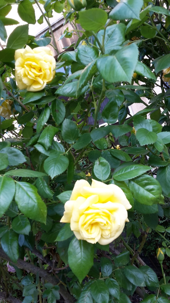 I never promised you a rose garden – Anglofilerna